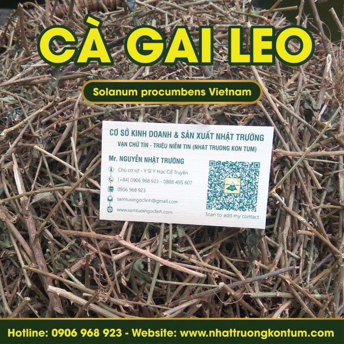 Cà Gai Leo Kon Tum Việt Nam - Solanum procumbens Vietnam - Túi 1kg