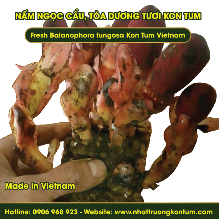 Nấm Ngọc Cẩu, Tỏa Dương Tươi Kon Tum Việt Nam - Fresh Balanophora fungosa Kon Tum Vietnam - Túi 1kg