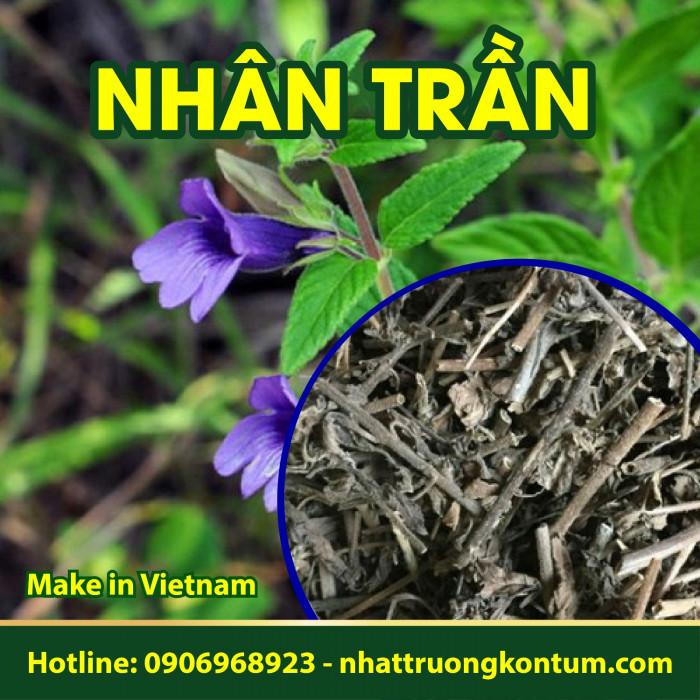 Nhân Trần Nhật Trường Kon Tum - Artemisia capillaris Thunb - Túi 1kg