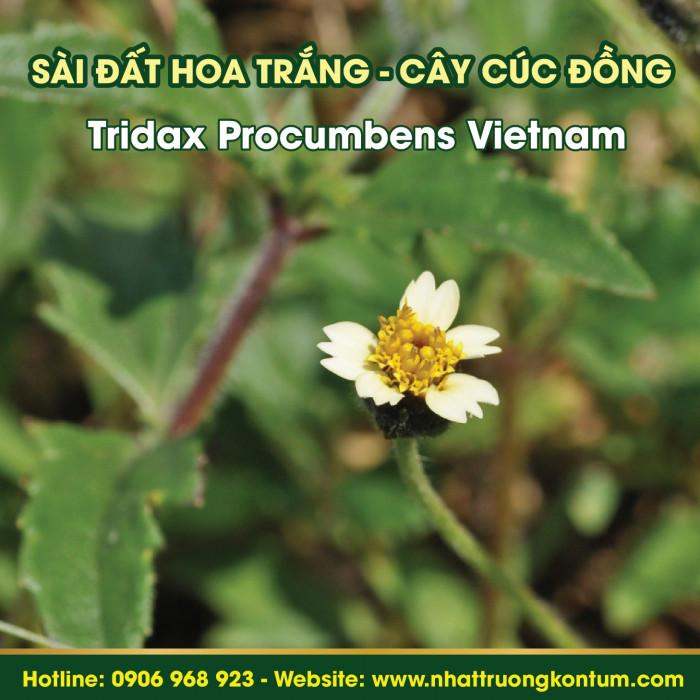 Sài đất hoa trắng, Cây Cúc Đồng - Tridax Procumbens Vietnam